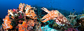 [Dc] Indonesia, Komodo, Digital Composite Of Two Images With Reef Scene And Broadclub Cuttlefish (Sepia Latimanus).