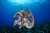 Hawaii, Maui, Female Octopus (Cephalopod) Swims Freely Underwater, Tentacles Tangled.