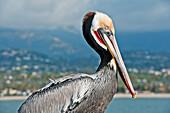 California, Santa Barbara, Brown Pelican (Pelecanus Occidentalis) Poses For His Portrait On Fishermans Wharf.