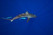 Hawaii, Big Island, Silky Shark (Carcharhinus Falciformis) Cruises The Open Ocean With Two Rainbow Runner (Elagatis Bipinnulata) Fish.