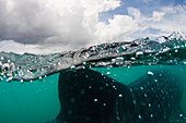 Philippines, Whale Shark (Rhiniodon Typus)Fin Reaching The Surface.