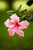 Hawaii, Maui, Close-Up Of Pink Hibiscus With Green In Background.