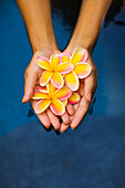 Hawaii, Oahu, Closeup Of Young Woman's Hands Holding Plumeria Flowers In Water.