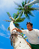 Local Man About To Capture A Coconut Crab On Palm Tree, View From Below