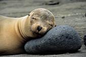 California Sea Lion, James Island, Galapagos Archipelago Ecuador.