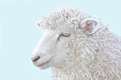Artist's Choice: Close Up Of A Sheep On A Blue Background