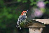 Male Red-Bellied Woodpecker (Melanerpes Carolinus), Carolinian Forest, Ontario