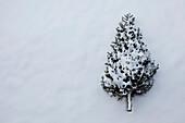 Discarded Christmas Tree (Balsam Fir)