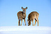 White-Tailed Deer Digging In Snow To Feed On Grass, Boucherville Islands Park, Quebec
