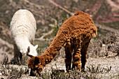 Alpaca Adults Grazing, Chivay Area, Province Of Caylloma, Peru