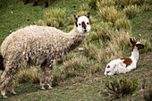 Alpaca Adult And Young On Slope, Chivay Area, Province Of Caylloma, Peru