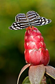 Tailed Jay (Graphium Agamemnon) South East Asia