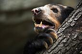 Andean Or Spectacled Bear, Tremarctos Ornatus, Imbabura Province, Ecuador