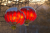 Chinese Lanterns Hanging From Trees. Montreal Botanical Garden. Quebec. Canada.
