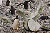 Gentoo Penguins Investigate Whale Bones On The Shore Of Cuverville Island In The Antarctic Archipelago