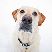 Portrait Of A Yellow Labrador Retriever Dog, Outdoors On A Snowy Winter Day. Winnipeg, Manitoba, Canada.