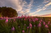 Prairie Wildflowers On A Farm In Rural Alberta At Sunset