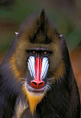 Male Mandrill.