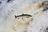 Atlantic Salmon Adult Leaps Up Falls Migrating Upstream To Spawning Grounds, Humber River, Newfoundland