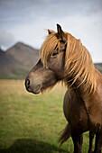 'Icelandic Horse Along Golden Circle; Iceland'