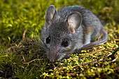 Deer Mouse (Peromyscus Maniculatus). The Deer Mouse Is Almost Completely Widespread Throughout North America. It Can Be Found From Mexico To Northern Canada.