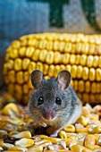 Deer Mouse (Peromyscus Maniculatus) Is The Only Native Mouse That Regularly Enters Houses And Sheds, Ranging From Mexico To Northern Canada. They Particularly Enjoy Wheat And Corn And Can Be A Pest In Grain Storage Areas.