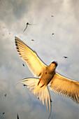 Arctic Terns Flying Above Nesting Colony Pws Sc Ak Summer Near Valdez Backlit