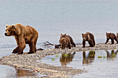 A Brown Bear Sow, Nicknamed Milkshake, Leads Her Four Spring Cubs On A Narrow Spit, As Reflections Of The Cubs Are Caught In A Pool, Brooks Camp, Katmai National Park, Southwest, Alaska, Summer