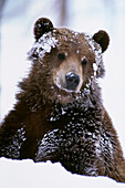 Grizzly Bear Standing With Face Covered In Snow At The Alaska Wildlife Conservation Center In Alaska During Spring
