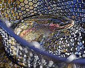Close Up Of A Rainbow Trout In A Net Fished On Deep Creek, Kenai Peninsula, Southcentral Alaska, Autumn