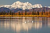 Scenic View Of Mt. Mckinley With Trumpeter Swans In A Small Pond In The Foreground, Broad Pass Near Cantwell, Interior Alaska, Fall