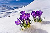 Crocus Flower Peeking Up Through The Snow. Spring. Southcentral Alaska.