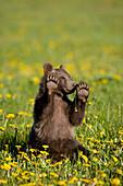 Brown Bear Cub Sitting In Wildflowers Yukon Territory Canada Tatshenshini-Alsek Wilderness Spring