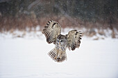 Barred Owl Swoops Down To Land In Snow, Ontario, Canada, Winter
