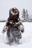 Captive: Grizzly Stands On Hind Feet During Winter At The Alaska Wildlife Conservation Center, Southcentral Alaska