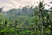 Indonesia,Bali,Tranquil Scene, Growth, Agriculture, Nature, Horizontal, Outdoors, Rural Scene, Elevated View, Indonesia, Tree, Lush, Crop, Sky, Cloud, Rice, Palm Tree, Day, Terraced Field, Paddy Field, Valley, Bali, Scenics, Colour, Grass, Ubud District,