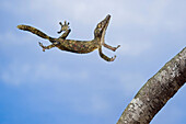 'Henkel's leaf-tailed gecko in mid leap; Madagascar'