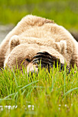 Brown Bear Resting On Sedge Grass With Paw Over Eyes At The Mcneil River State Game Sanctuary, Southwest Alaska, Summer