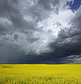 'Storm clouds gather over a sunlit canola field in southern Alberta; Alberta, Canada'