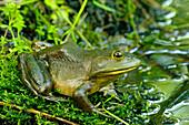 'American bullfrog; Pointe-des-Cascades, Quebec, Canada'