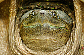 'Head of a snapping turtle; Pointe-des-Cascades, Quebec, Canada'