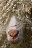 Livestock - Closeup of the face of Angora goat / England, United Kingdom.