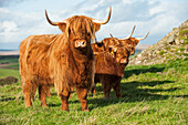Livestock - Highland beef cattle on a green pasture / Scotland, United Kingdom.