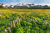 'Lupine wildflower meadow in Katmai National Park with Aleutian mountains in the distance; Alaska, United States of America'