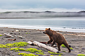 'Brown bear (ursus arctos) among the driftwood along the shore of coastal Katmai National Park, Alaska Peninsula; Alaska, United States of America'
