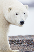 'Polar bear (ursus maritimus) portrait; Alaska, United States of America'
