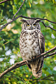'Great Horned Owl (Bubo virginianus) perched on the branch of birch tree in the boreal forest; Fairbanks, Alaska, United States of America'