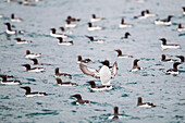 'Common murre (Uria aalge) spreads its wings before taking flight on the waters of Prince William Sound; Southcentral Alaska, United States of America'