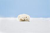'Polar bear (ursus maritimus) sleeps on the snow covered arctic barrier island in Alaska's Beaufort Sea, Arctic National Wildlife Refuge; Alaska, United States of America'