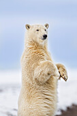 'Polar bear (ursus maritimus) stands up for a curious look along the shore of a barrier island in Alaska's Beaufort Sea, Arctic National Wildlife Refuge; Alaska, United States of America'